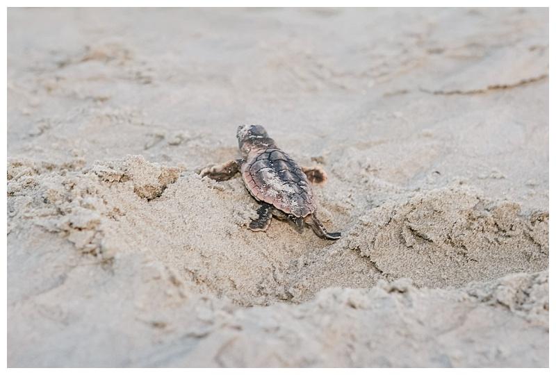 baby sea turtle heading to see on Kiawah Island