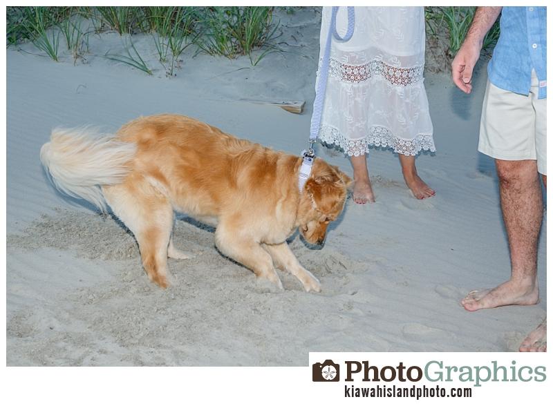 Dog digging a hole on beach, Kiawah Island Family Photos